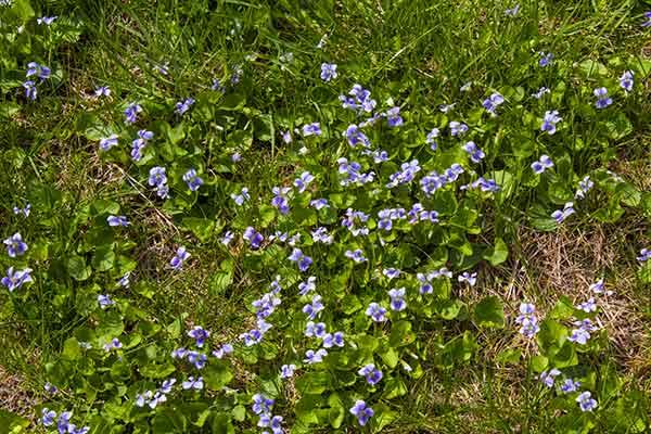 433 violets close-up