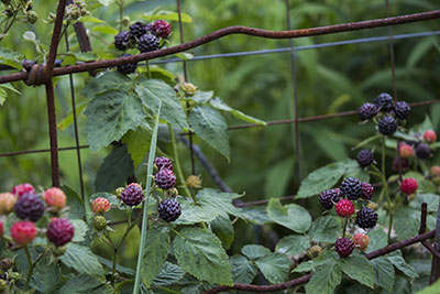 452 ripening black raspberries