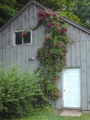 452 climbing rose
