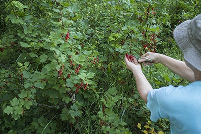 452 picking red currants