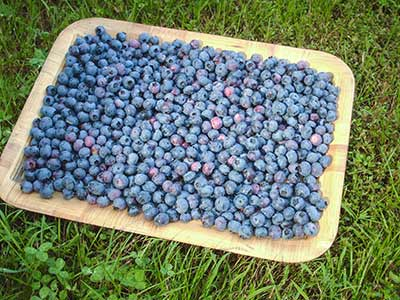 461 tray of blueberries