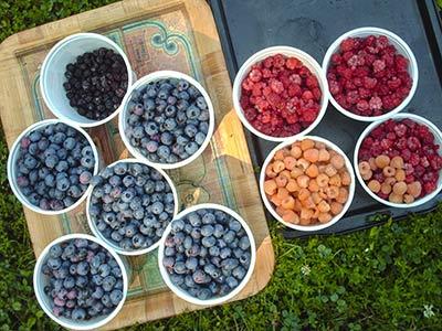 466 berry trays