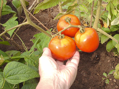 475A ripening large tomatoes