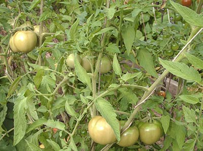 475A green large tomatoes