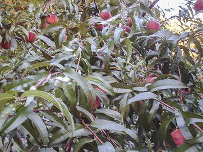 479A more peaches
